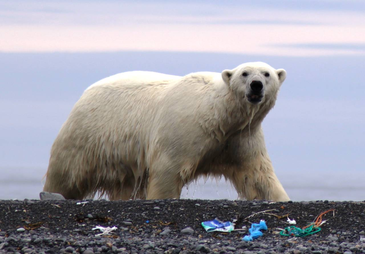 Polar-bear-on-littered-Svalbard-beach.-Photo-by-Ilja-Leo-Lang-AECO-1280x891.jpg